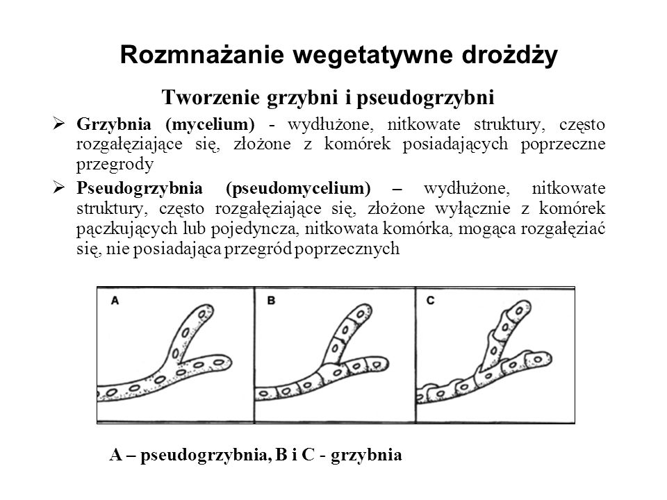 Rozmnażanie wegetatywne drożdży Tworzenie grzybni i pseudogrzybni Grzybnia (mycelium) - wydłużone, nitkowate struktury, często rozgałęziające się, zło