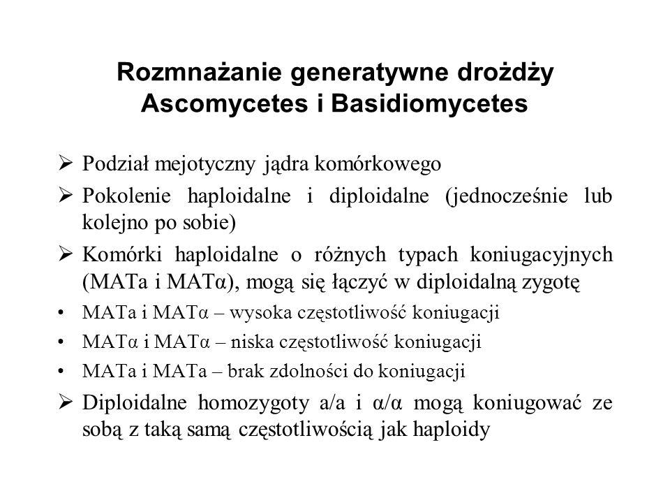 Rozmnażanie generatywne drożdży Ascomycetes i Basidiomycetes Podział mejotyczny jądra komórkowego Pokolenie haploidalne i diploidalne (jednocześnie lu