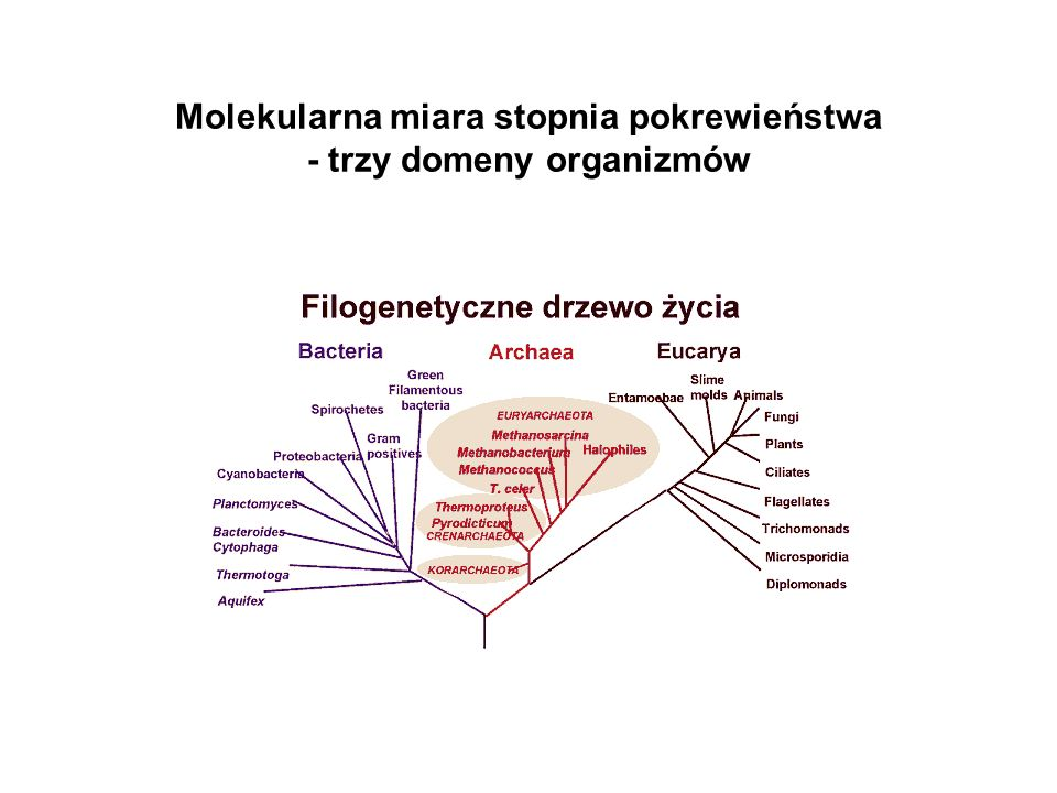 Molekularna miara stopnia pokrewieństwa - trzy domeny organizmów