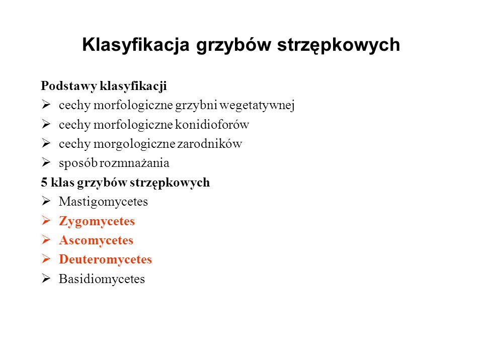 Klasyfikacja grzybów strzępkowych Podstawy klasyfikacji cechy morfologiczne grzybni wegetatywnej cechy morfologiczne konidioforów cechy morgologiczne