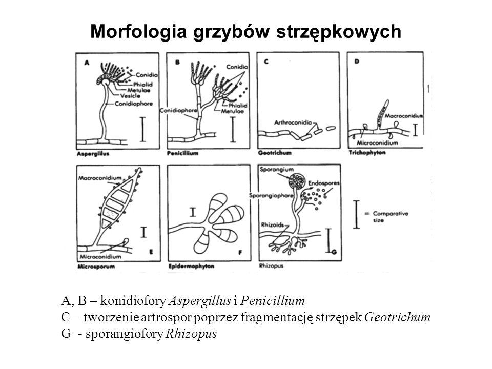 Morfologia grzybów strzępkowych A, B – konidiofory Aspergillus i Penicillium C – tworzenie artrospor poprzez fragmentację strzępek Geotrichum G - spor