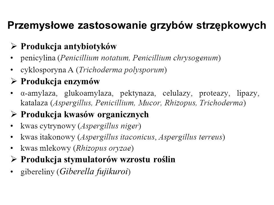 Przemysłowe zastosowanie grzybów strzępkowych Produkcja antybiotyków penicylina (Penicillium notatum, Penicillium chrysogenum) cyklosporyna A (Trichod
