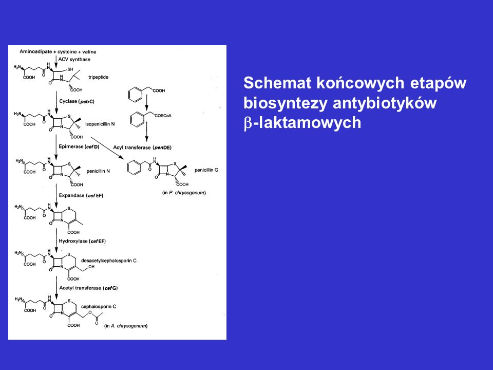 Schemat końcowych etapów biosyntezy antybiotyków -laktamowych