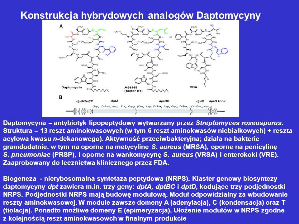 Konstrukcja hybrydowych analogów Daptomycyny Daptomycyna – antybiotyk lipopeptydowy wytwarzany przez Streptomyces roseosporus. Struktura – 13 reszt am