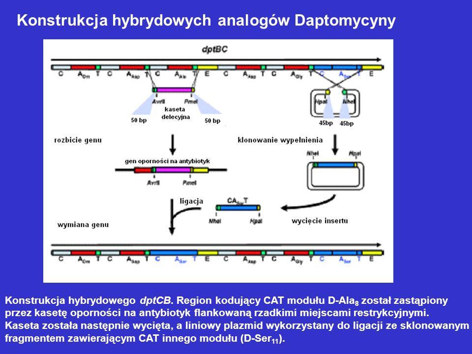 Konstrukcja hybrydowych analogów Daptomycyny Konstrukcja hybrydowego dptCB. Region kodujący CAT modułu D-Ala 8 został zastąpiony przez kasetę opornośc