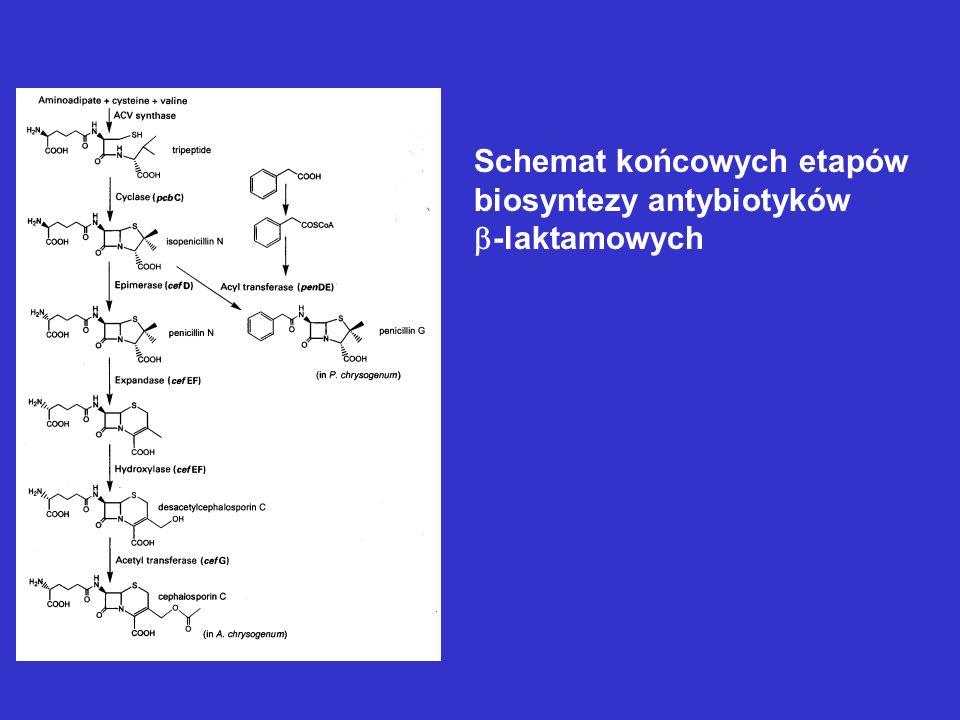 Produkcja penicyliny G lub V Producent: Penicillum chrysogenum Szczepy produkcyjne wytwarzają do 70 g z litra hodowli.