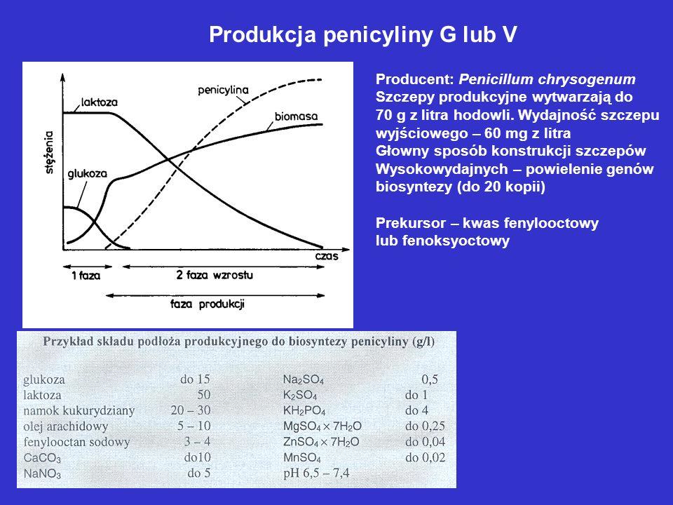 Produkcja penicyliny G lub V Producent: Penicillum chrysogenum Szczepy produkcyjne wytwarzają do 70 g z litra hodowli. Wydajność szczepu wyjściowego –