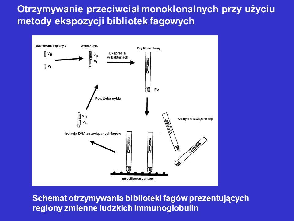 Schemat otrzymywania biblioteki fagów prezentujących regiony zmienne ludzkich immunoglobulin Otrzymywanie przeciwciał monoklonalnych przy użyciu metod