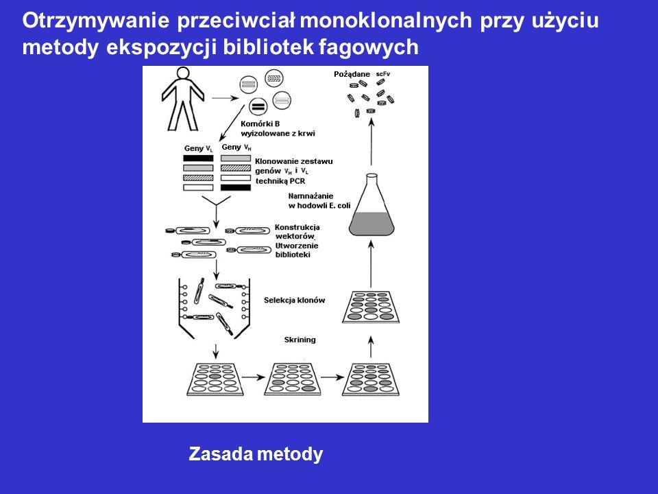 Zasada metody Otrzymywanie przeciwciał monoklonalnych przy użyciu metody ekspozycji bibliotek fagowych