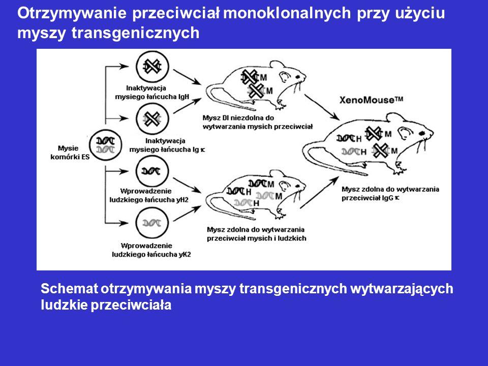 Schemat otrzymywania myszy transgenicznych wytwarzających ludzkie przeciwciała Otrzymywanie przeciwciał monoklonalnych przy użyciu myszy transgeniczny