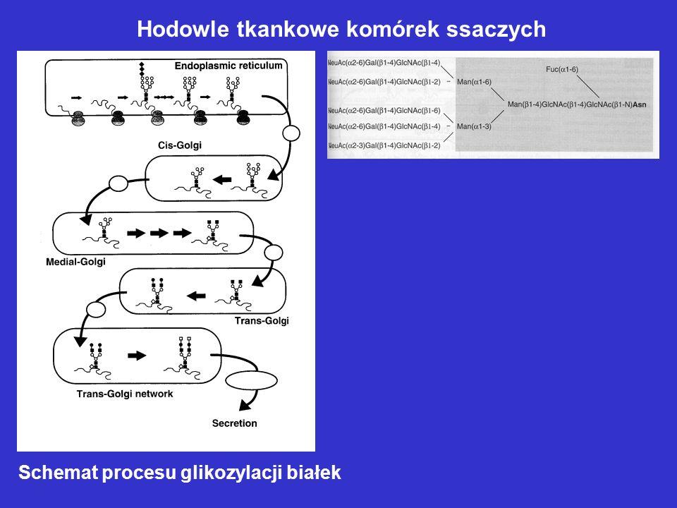 Schemat procesu glikozylacji białek