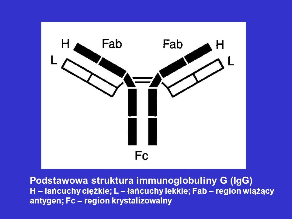 Schemat otrzymywania biblioteki fagów prezentujących regiony zmienne ludzkich immunoglobulin Otrzymywanie przeciwciał monoklonalnych przy użyciu metody ekspozycji bibliotek fagowych