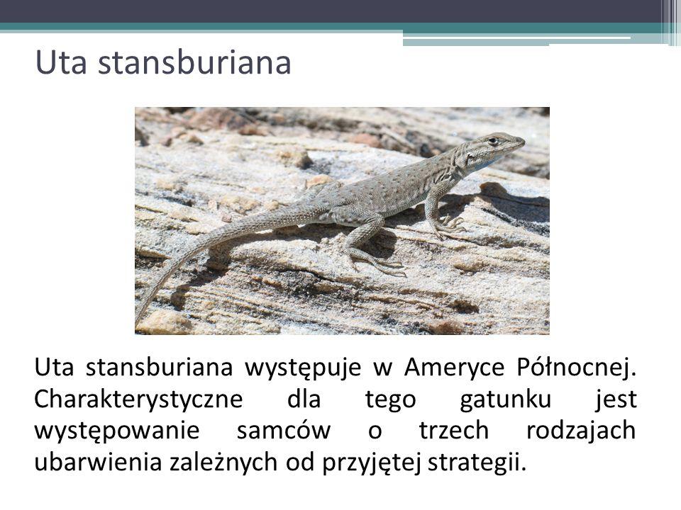 Uta stansburiana Uta stansburiana występuje w Ameryce Północnej. Charakterystyczne dla tego gatunku jest występowanie samców o trzech rodzajach ubarwi