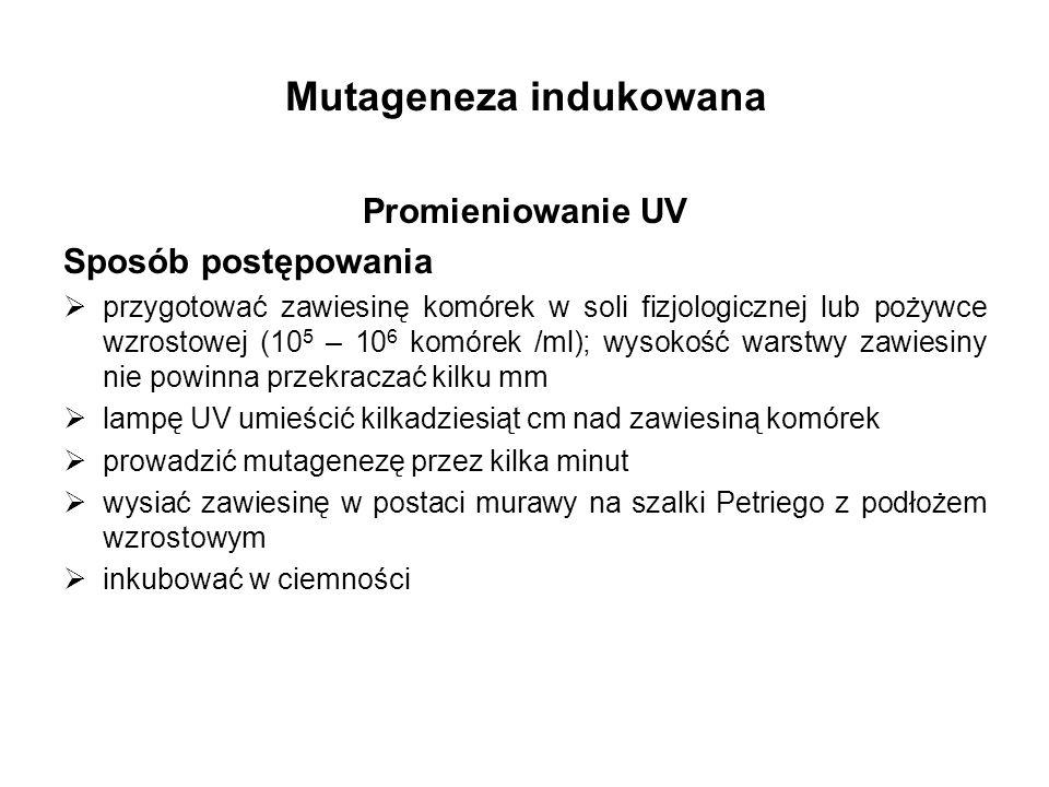 Mutageneza indukowana Promieniowanie UV Sposób postępowania przygotować zawiesinę komórek w soli fizjologicznej lub pożywce wzrostowej (10 5 – 10 6 ko