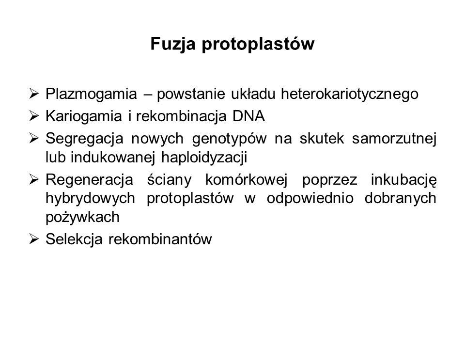 Fuzja protoplastów Plazmogamia – powstanie układu heterokariotycznego Kariogamia i rekombinacja DNA Segregacja nowych genotypów na skutek samorzutnej