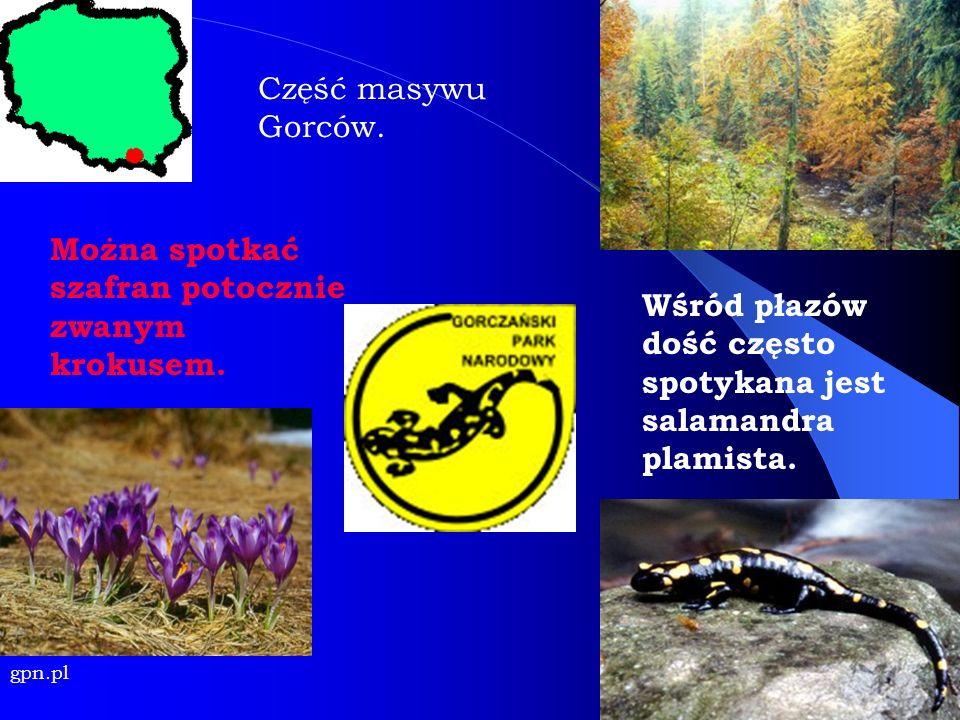 Można spotkać szafran potocznie zwanym krokusem. gpn.pl Wśród płazów dość często spotykana jest salamandra plamista. Część masywu Gorców.