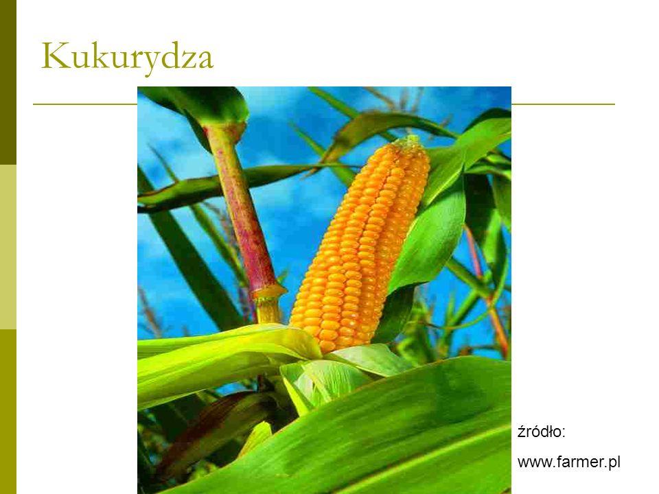 Kukurydza Kukurydza wymaga klimatu ciepłego i jednocześnie wilgotnego Nie jest odporna na przymrozki.