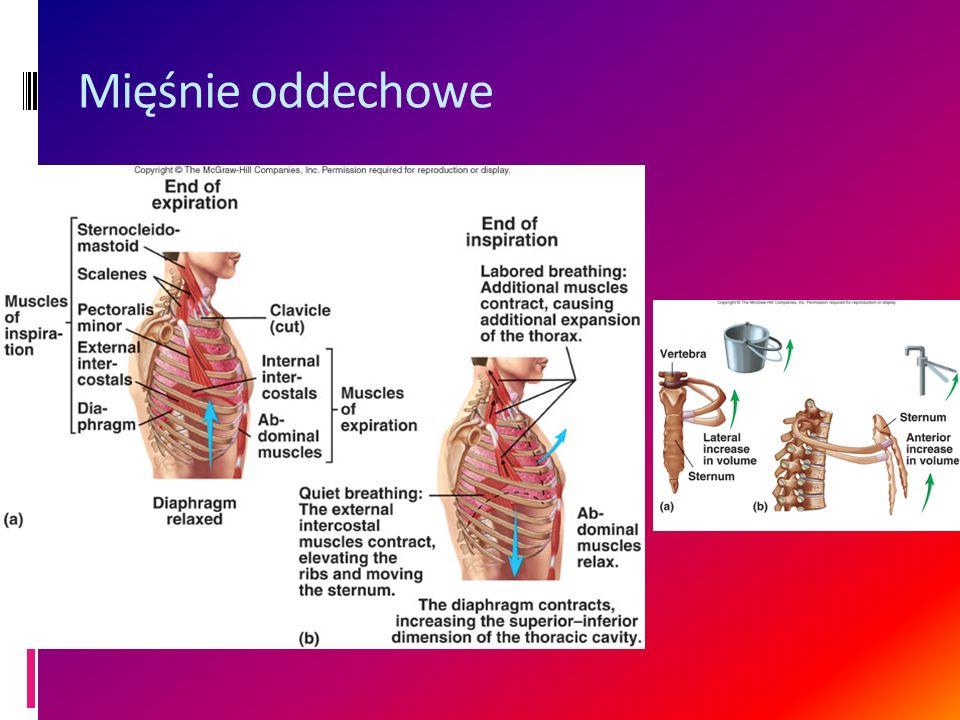 Mięśnie oddechowe