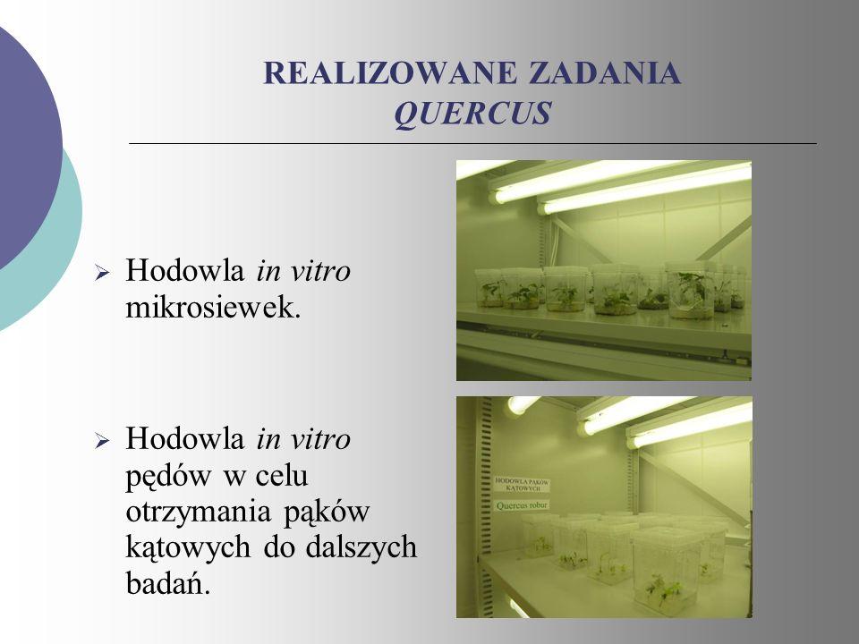 REALIZOWANE ZADANIA QUERCUS Hodowla in vitro mikrosiewek. Hodowla in vitro pędów w celu otrzymania pąków kątowych do dalszych badań.