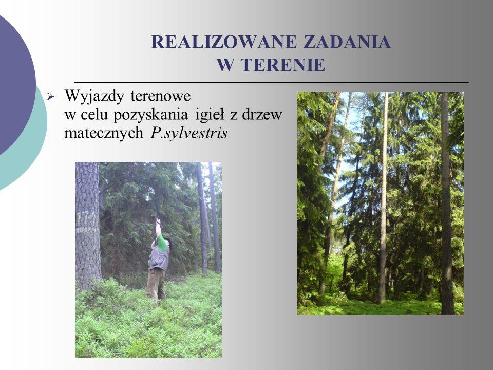 REALIZOWANE ZADANIA W TERENIE Wyjazdy terenowe w celu pozyskania igieł z drzew matecznych P.sylvestris