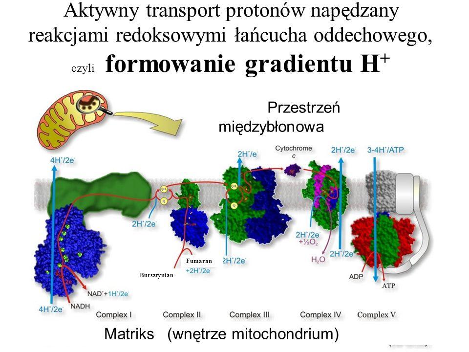Aktywny transport protonów napędzany reakcjami redoksowymi łańcucha oddechowego, czyli formowanie gradientu H + Bursztynian Fumaran Przestrzeń międzyb