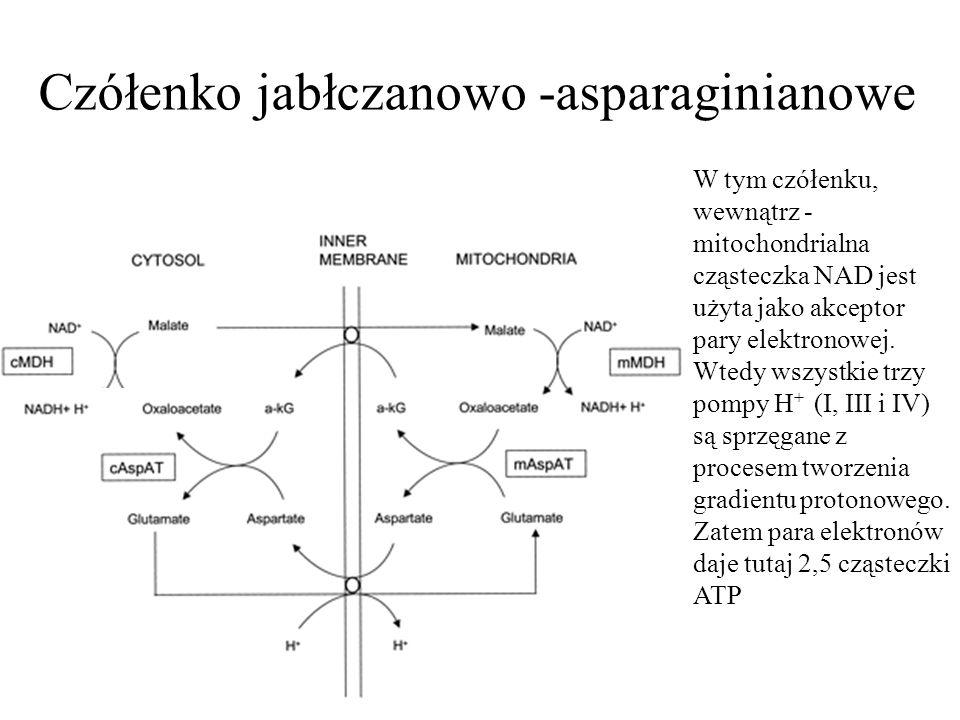 Czółenko jabłczanowo -asparaginianowe W tym czółenku, wewnątrz - mitochondrialna cząsteczka NAD jest użyta jako akceptor pary elektronowej. Wtedy wszy