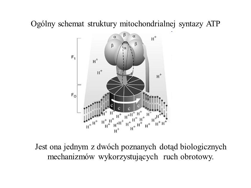 Ogólny schemat struktury mitochondrialnej syntazy ATP Jest ona jednym z dwóch poznanych dotąd biologicznych mechanizmów wykorzystujących ruch obrotowy