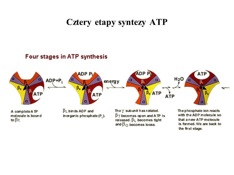 Cztery etapy syntezy ATP