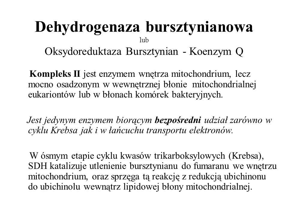 Dehydrogenaza bursztynianowa lub Oksydoreduktaza Bursztynian - Koenzym Q Kompleks II jest enzymem wnętrza mitochondrium, lecz mocno osadzonym w wewnęt