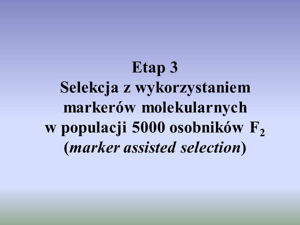 Etap 3 Selekcja z wykorzystaniem markerów molekularnych w populacji 5000 osobników F 2 (marker assisted selection)