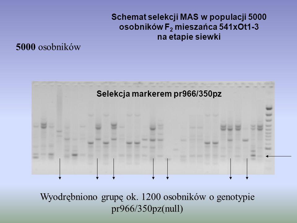 Schemat selekcji MAS w populacji 5000 osobników F 2 mieszańca 541xOt1-3 na etapie siewki 5000 osobników Selekcja markerem pr966/350pz Wyodrębniono gru