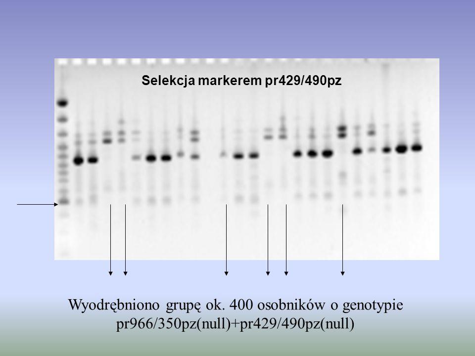 Selekcja markerem pr429/490pz Wyodrębniono grupę ok. 400 osobników o genotypie pr966/350pz(null)+pr429/490pz(null)