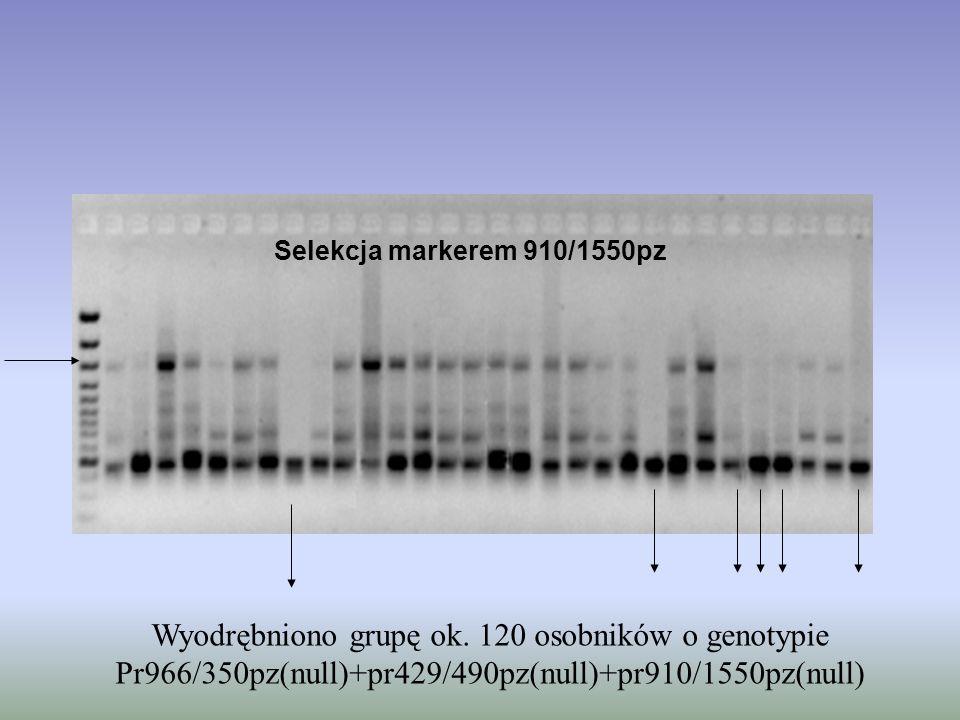 Selekcja markerem 910/1550pz Wyodrębniono grupę ok. 120 osobników o genotypie Pr966/350pz(null)+pr429/490pz(null)+pr910/1550pz(null)