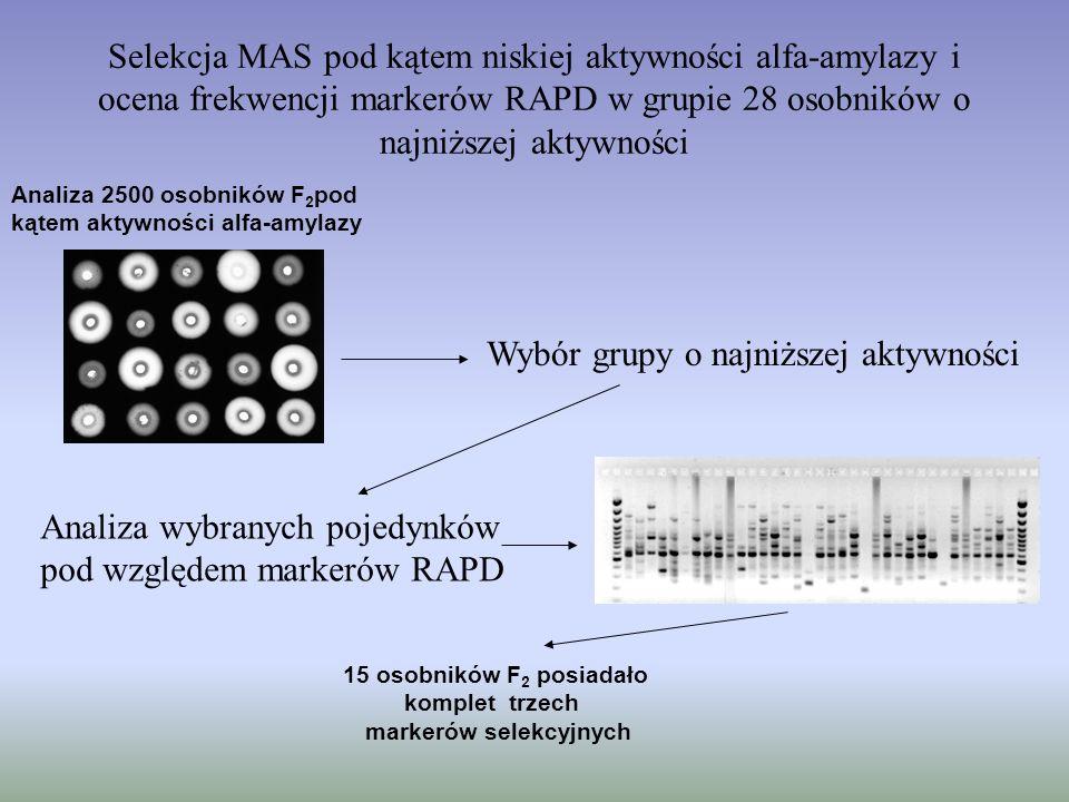 Selekcja MAS pod kątem niskiej aktywności alfa-amylazy i ocena frekwencji markerów RAPD w grupie 28 osobników o najniższej aktywności Analiza 2500 oso