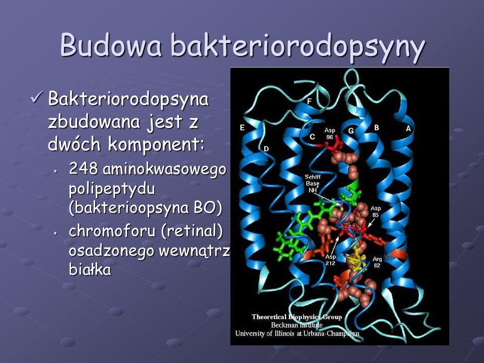 Funkcje bakteriorodopsyny Białko błonowe przeprowadzające transdukcję energii świetlnej, występujące u Halobacterium salinarum Białko błonowe przeprowadzające transdukcję energii świetlnej, występujące u Halobacterium salinarum Biologiczną funkcją BR jest absorpcja energii świetlnej i przekształcenie jej w energię chemiczną w warunkach beztlenowych Biologiczną funkcją BR jest absorpcja energii świetlnej i przekształcenie jej w energię chemiczną w warunkach beztlenowych Podstawową funkcja BR jest pompowanie protonów ale dla urządzeń elektronicznych najważniejsza jest absorpcja i przekształcanie energii świetlnej Podstawową funkcja BR jest pompowanie protonów ale dla urządzeń elektronicznych najważniejsza jest absorpcja i przekształcanie energii świetlnej BR może być wykorzystywana w tworzeniu pamięci optycznych oraz pamięci trójwymiarowych BR może być wykorzystywana w tworzeniu pamięci optycznych oraz pamięci trójwymiarowych