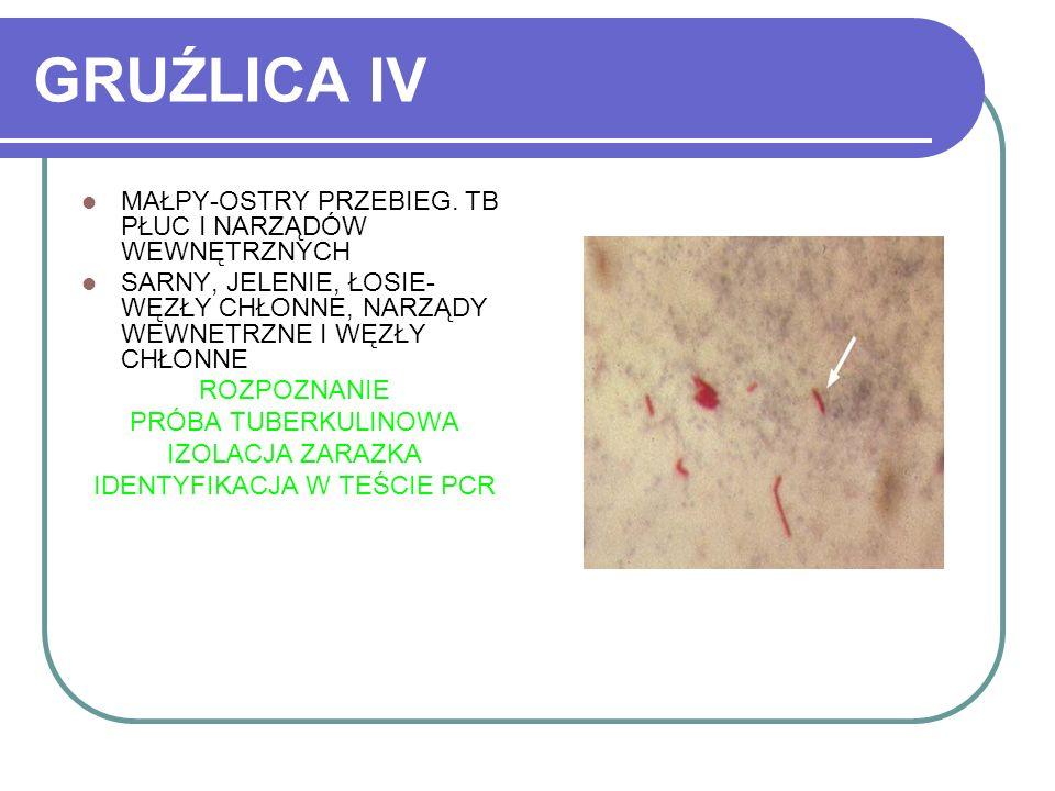 GRUŹLICA IV MAŁPY-OSTRY PRZEBIEG. TB PŁUC I NARZĄDÓW WEWNĘTRZNYCH SARNY, JELENIE, ŁOSIE- WĘZŁY CHŁONNE, NARZĄDY WEWNETRZNE I WĘZŁY CHŁONNE ROZPOZNANIE