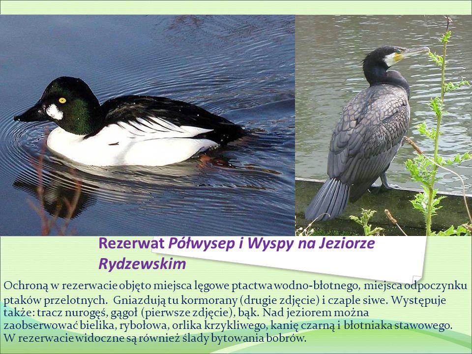 Ochroną w rezerwacie objęto miejsca lęgowe ptactwa wodno-błotnego, miejsca odpoczynku ptaków przelotnych. Gniazdują tu kormorany (drugie zdjęcie) i cz