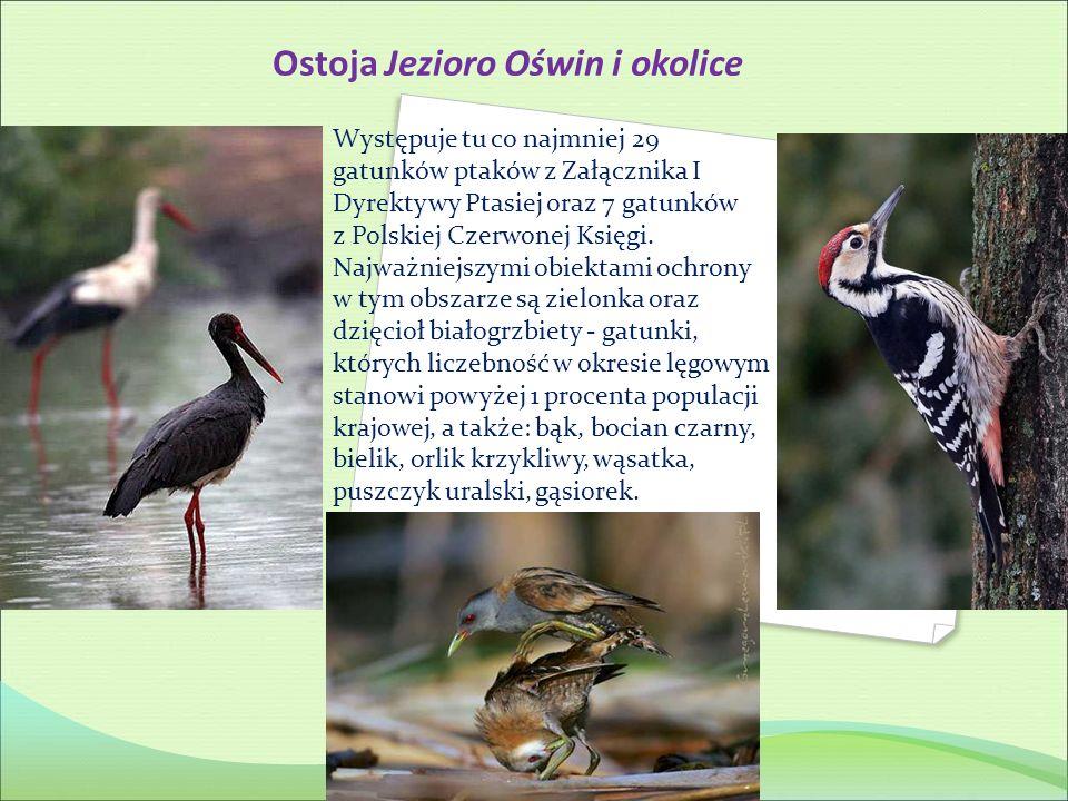 Ostoja Jezioro Oświn i okolice Występuje tu co najmniej 29 gatunków ptaków z Załącznika I Dyrektywy Ptasiej oraz 7 gatunków z Polskiej Czerwonej Księg