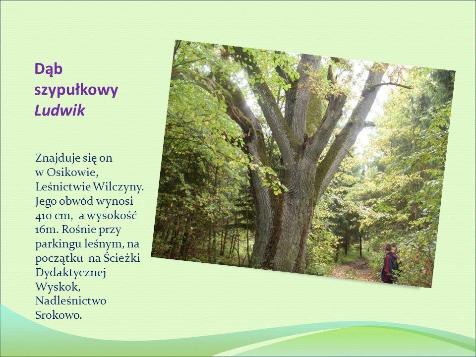 Dąb szypułkowy Ludwik Znajduje się on w Osikowie, Leśnictwie Wilczyny. Jego obwód wynosi 410 cm, a wysokość 16m. Rośnie przy parkingu leśnym, na począ