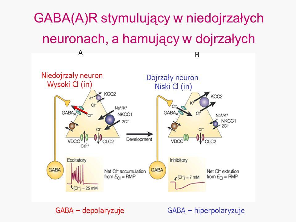GABA(A)R stymulujący w niedojrzałych neuronach, a hamujący w dojrzałych Niedojrzały neuron Wysoki Cl (in) Dojrzały neuron Niski Cl (in) A B GABA – dep