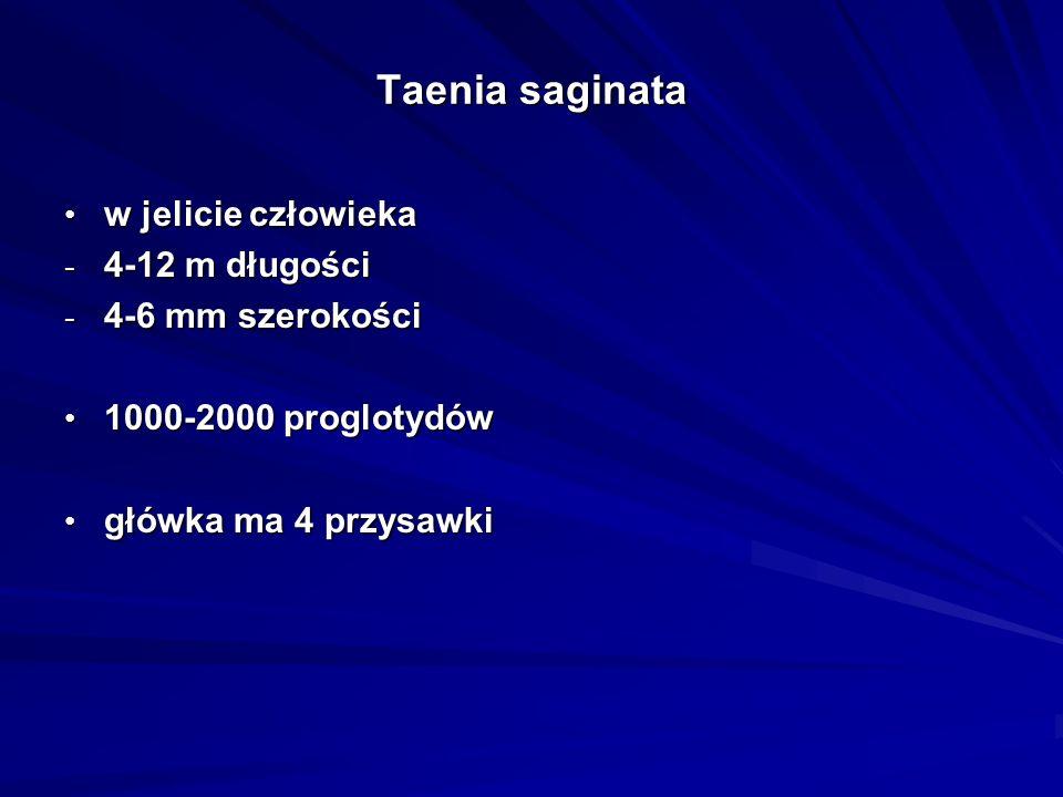Taenia saginata w jelicie człowieka w jelicie człowieka - 4-12 m długości - 4-6 mm szerokości 1000-2000 proglotydów 1000-2000 proglotydów główka ma 4
