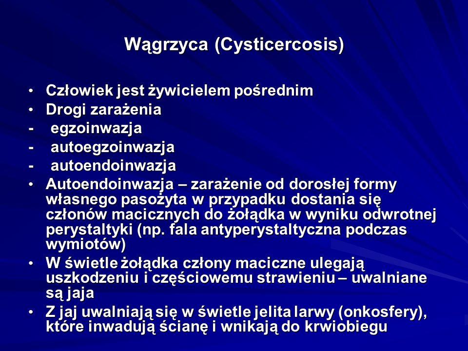 Wągrzyca (Cysticercosis) Człowiek jest żywicielem pośrednim Człowiek jest żywicielem pośrednim Drogi zarażenia Drogi zarażenia - egzoinwazja - autoegz
