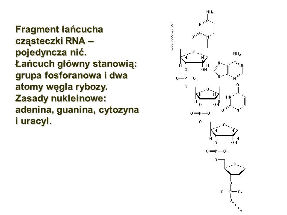 Fragment łańcucha cząsteczki RNA – pojedyncza nić. Łańcuch główny stanowią: grupa fosforanowa i dwa atomy węgla rybozy. Zasady nukleinowe: adenina, gu