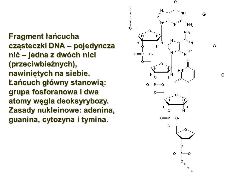 Fragment łańcucha cząsteczki DNA – pojedyncza nić – jedna z dwóch nici (przeciwbieżnych), nawiniętych na siebie. Łańcuch główny stanowią: grupa fosfor