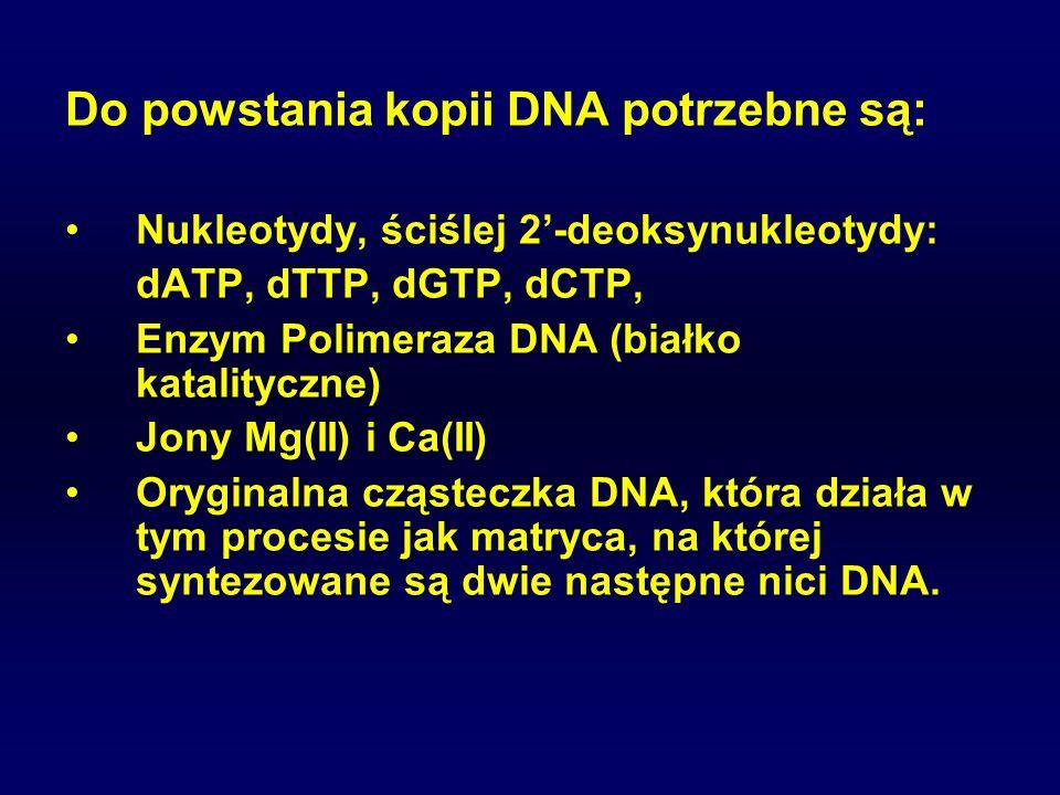 Do powstania kopii DNA potrzebne są: Nukleotydy, ściślej 2-deoksynukleotydy: dATP, dTTP, dGTP, dCTP, Enzym Polimeraza DNA (białko katalityczne) Jony M