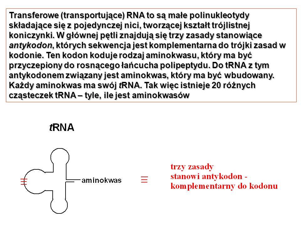 Transferowe (transportujące) RNA to są małe polinukleotydy składające się z pojedynczej nici, tworzącej kształt trójlistnej koniczynki. W głównej pętl