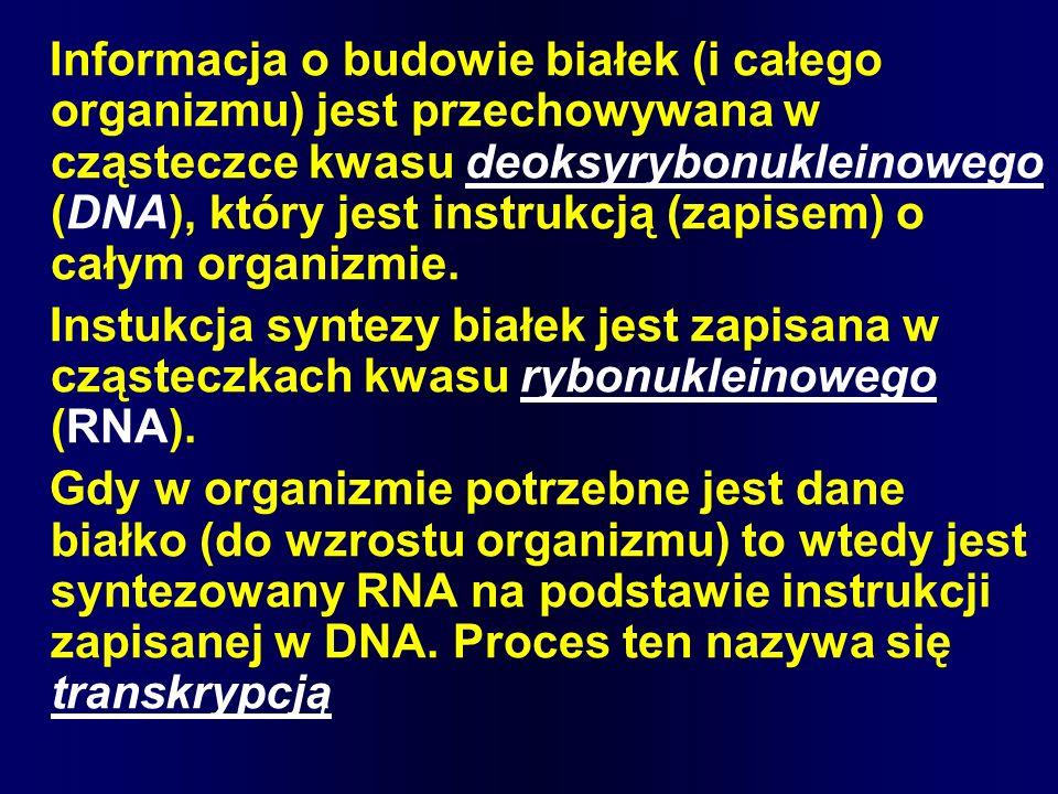 Informacja o budowie białek (i całego organizmu) jest przechowywana w cząsteczce kwasu deoksyrybonukleinowego (DNA), który jest instrukcją (zapisem) o