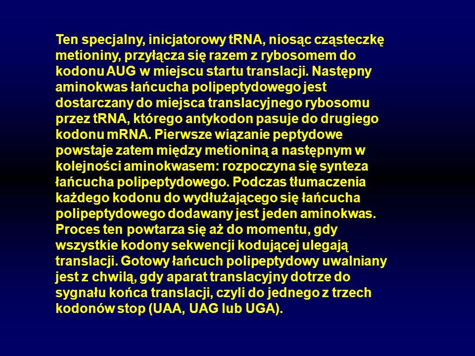 Ten specjalny, inicjatorowy tRNA, niosąc cząsteczkę metioniny, przyłącza się razem z rybosomem do kodonu AUG w miejscu startu translacji. Następny ami