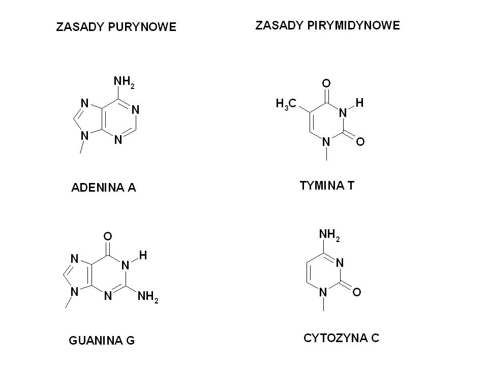 NUKLEOZYDY – połączenia zasad z cukrem: Tutaj – nukleozydy występujące w RNA; cukrem jest ryboza.