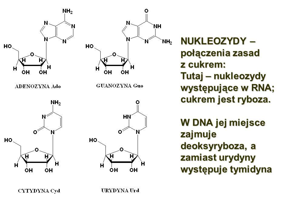 NUKLEOZYDY – połączenia zasad z cukrem: Tutaj – nukleozydy występujące w RNA; cukrem jest ryboza. W DNA jej miejsce zajmuje deoksyryboza, a zamiast ur